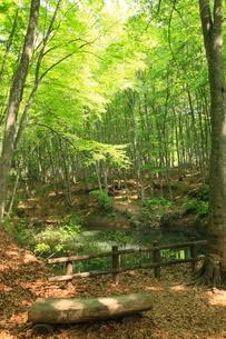 新緑の美人林の写真素材 [FYI03345633]