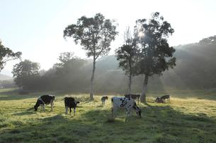 カヤノ平高原の乳牛の写真素材 [FYI03345721]