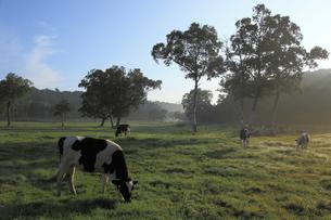 カヤノ平高原の乳牛の写真素材 [FYI03345722]