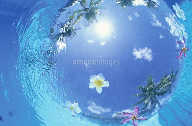 水面に浮かぶ赤と白のプルメリアの写真素材 [FYI03345854]