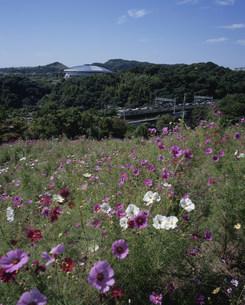 コスモスの丘と市営地下鉄 神戸総合運動公園の写真素材 [FYI03346394]