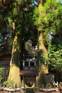 高千穂神社 夫婦杉 の写真素材 [FYI03346899]