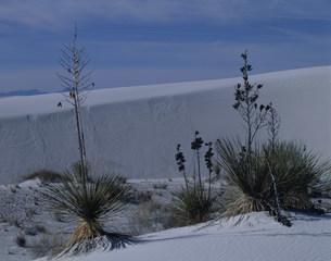 ユッカと砂漠 ホワイトサンズ国立記念物の写真素材 [FYI03346977]