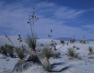 ユッカと砂漠 ホワイトサンズ国立記念物の写真素材 [FYI03346981]
