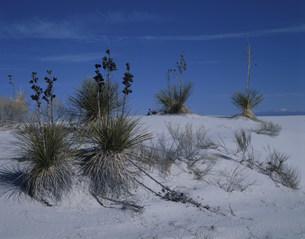 ユッカと砂漠 ホワイトサンズ国立記念物の写真素材 [FYI03346987]