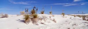 ユッカと砂漠 ホワイトサンズ国定記念物の写真素材 [FYI03347156]