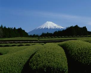 大渕茶畑と富士山の写真素材 [FYI03347657]