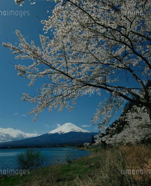 河口湖の桜と富士山の写真素材 [FYI03347807]