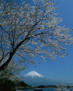 田貫湖の桜と富士山の写真素材 [FYI03347810]