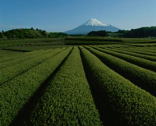 大渕の茶畑と富士山の写真素材 [FYI03347813]