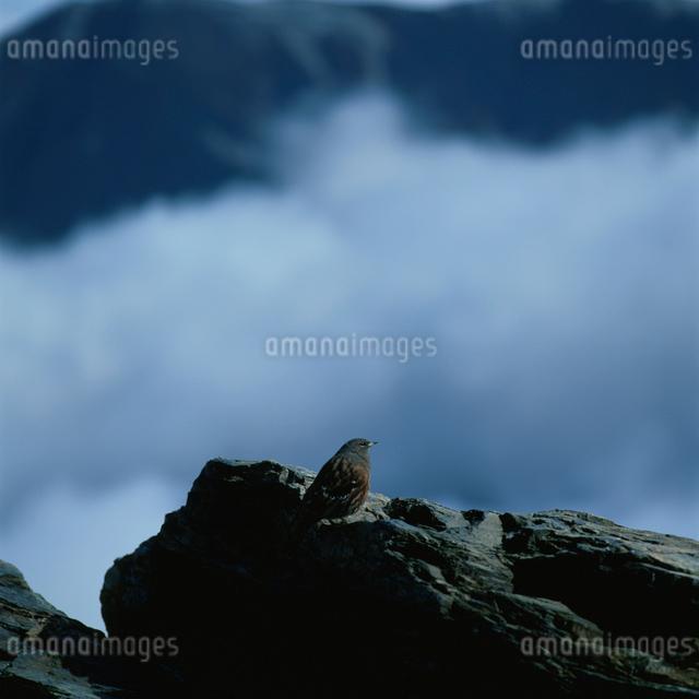 北岳のイワヒバリの写真素材 [FYI03347817]