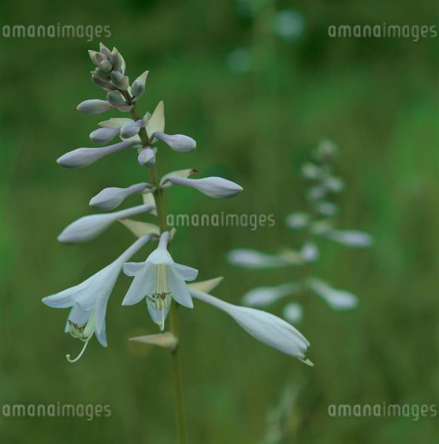 梨ヶ原のコバギボウシの花の写真素材 [FYI03347822]