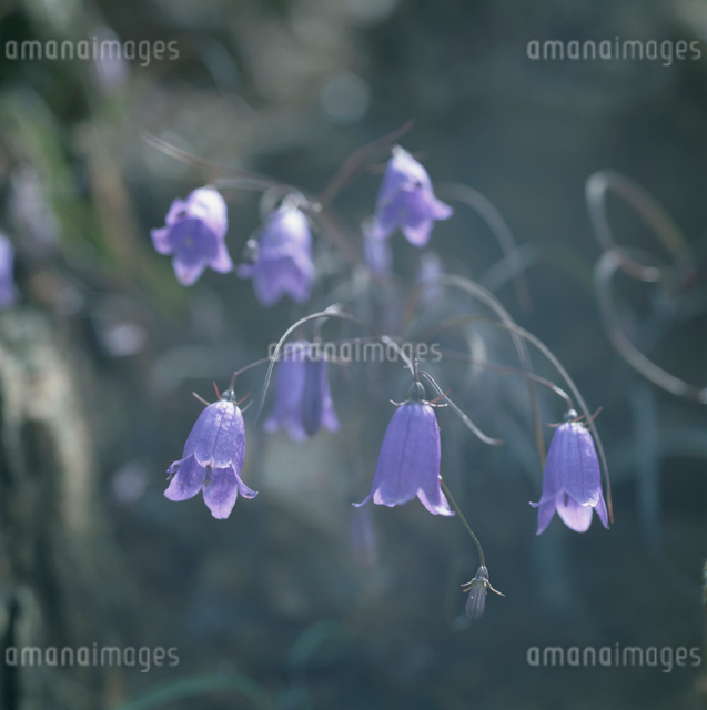 伝付峠のイワシャジンの花の写真素材 [FYI03347825]