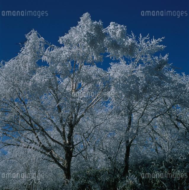 湯ノ沢峠の霧氷の樹木の写真素材 [FYI03347826]