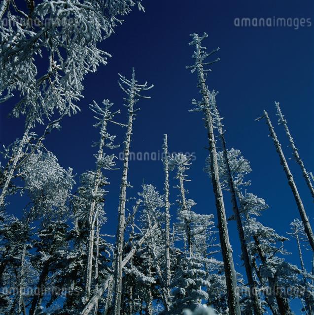 北奥千丈岳の霧氷の樹木の写真素材 [FYI03347827]