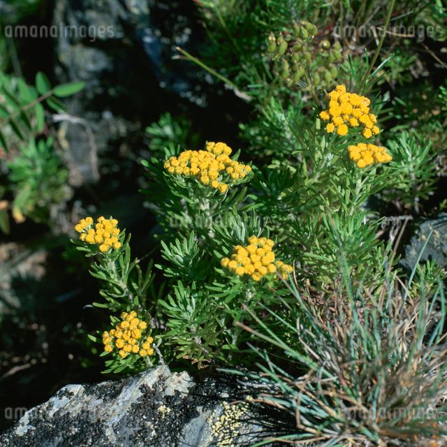 千枚岳のイワインチンの花の写真素材 [FYI03347833]