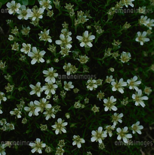 千枚岳のタカネツメクサの花の写真素材 [FYI03347834]