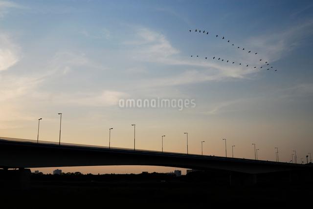 夕暮れの稲城大橋と鳥の群れの写真素材 [FYI03347986]