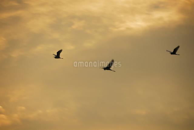 夕焼けの空を飛ぶ三羽のサギの写真素材 [FYI03348013]