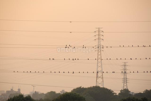 夕方の電線にとまる鵜の群れの写真素材 [FYI03348014]