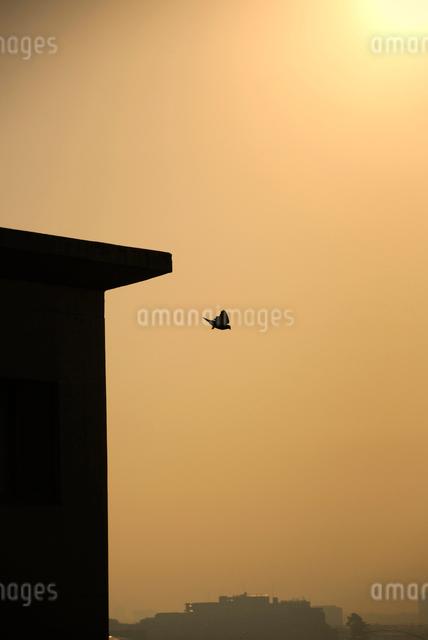 朝の空へ飛び立つハトの写真素材 [FYI03348018]