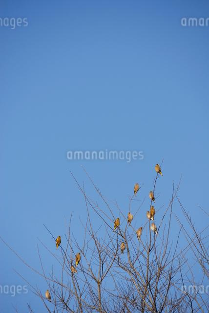 冬枯れの枝にとまるカワラヒワの群れの写真素材 [FYI03348020]