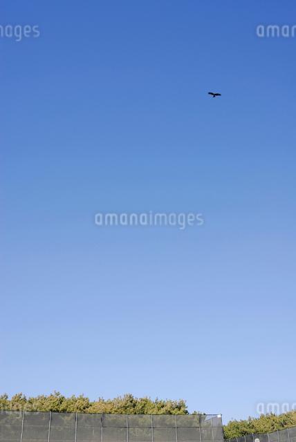 茅ヶ崎海岸の空を飛ぶトンビの写真素材 [FYI03348021]