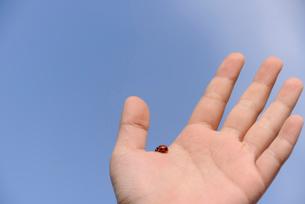 手のひらのてんとう虫の写真素材 [FYI03348029]