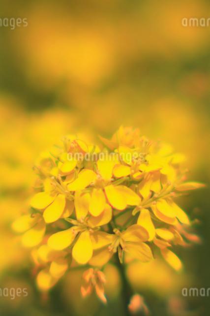 菜の花の写真素材 [FYI03348050]