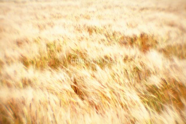 風に揺らぐ麦畑の写真素材 [FYI03348058]