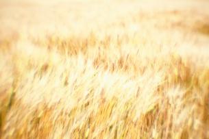 風に揺らぐ麦畑の写真素材 [FYI03348060]