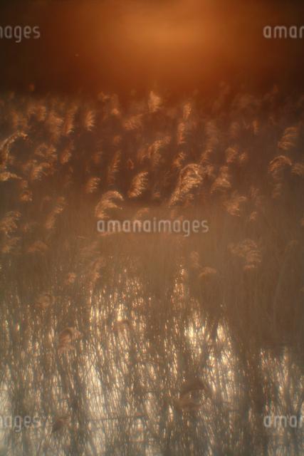 夕日を浴びた葦の写真素材 [FYI03348062]