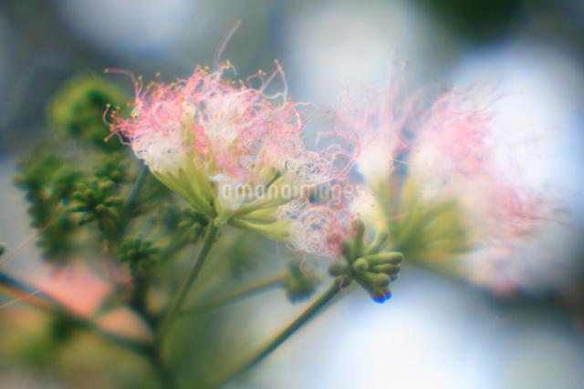 ネムノキの花の写真素材 [FYI03348065]