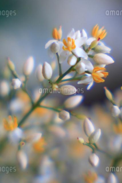 ナンテンの花の写真素材 [FYI03348068]