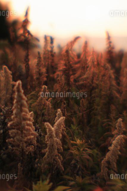 夕日を浴びる枯れたセイタカアワダチソウの写真素材 [FYI03348077]