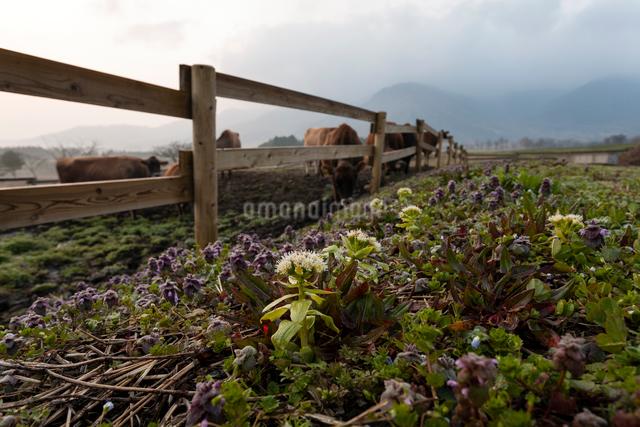 牧柵沿いに咲くフキノトウとヒメオドリコソウの写真素材 [FYI03348085]