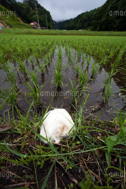 畦に産み付けられたシュレーゲルアオガエルの卵塊の写真素材 [FYI03348097]