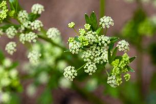 セロリの花の写真素材 [FYI03348098]