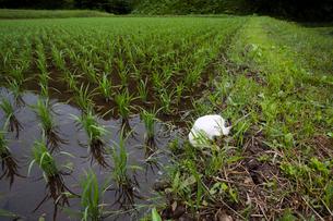 畦に産み付けられたシュレーゲルアオガエルの卵塊の写真素材 [FYI03348099]
