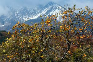 稔る柿と冠雪の伯耆大山の写真素材 [FYI03348117]