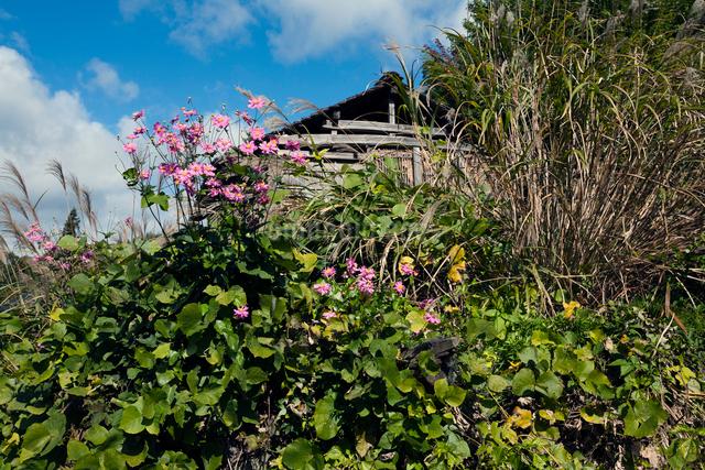 廃小屋の傍らに咲くコスモスの写真素材 [FYI03348121]