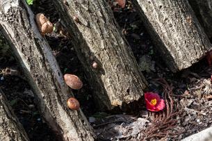 榾木に生える椎茸とツバキの落花の写真素材 [FYI03348122]