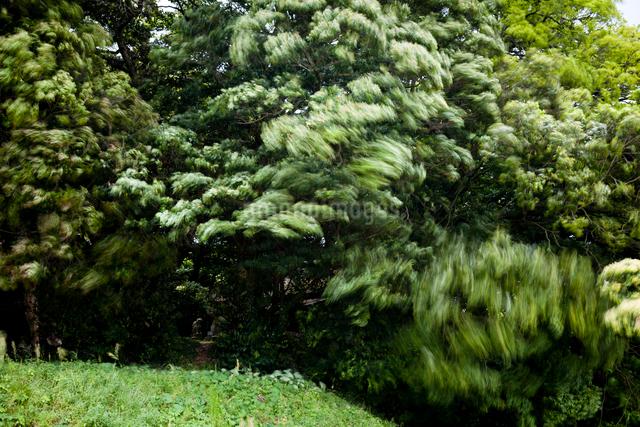 青嵐に揺れる鎮守の森の写真素材 [FYI03348136]