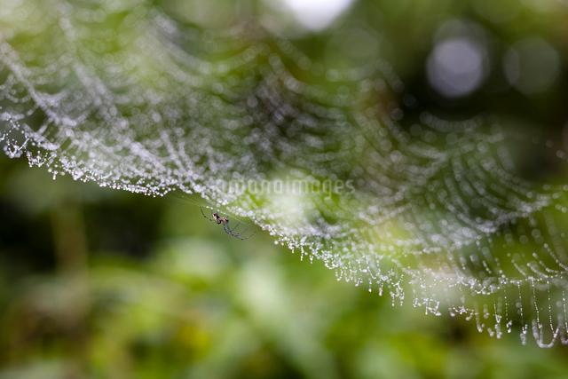 シロカネグモと雨霧に彩られる蜘蛛の巣の写真素材 [FYI03348141]