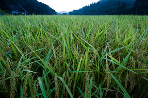 朝露に濡れる稲穂の写真素材 [FYI03348150]