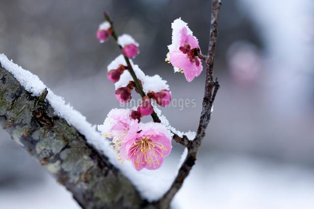 雪化粧の紅梅の写真素材 [FYI03348156]