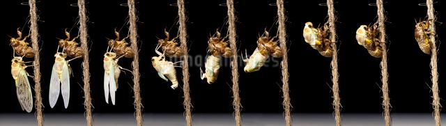アブラゼミの羽化(羽化開始から3時間後まで)の写真素材 [FYI03348157]