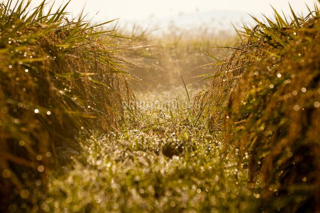 朝日にきらめく稲穂と朝露の畦道の写真素材 [FYI03348161]