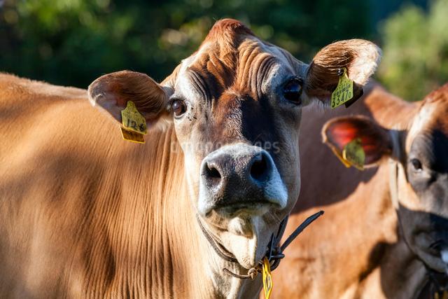 ジャージー牛の写真素材 [FYI03348163]