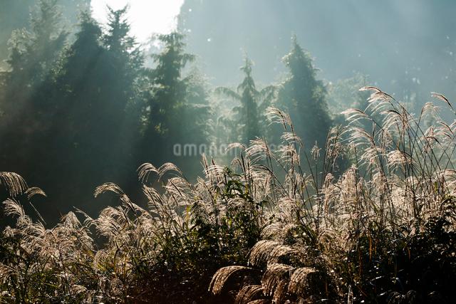 ススキと蒸気霧の写真素材 [FYI03348168]